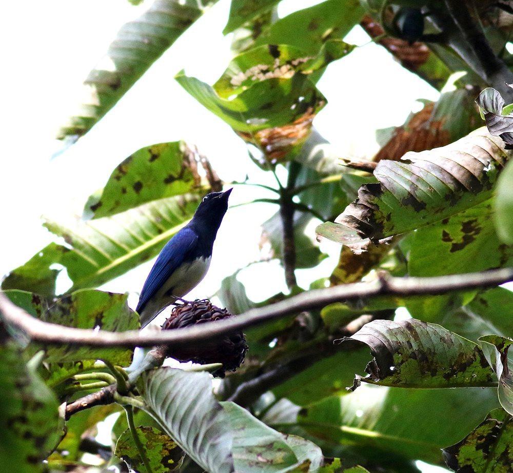 熟した?実にやって来る野鳥たち(オオルリ♂成鳥)を・・・_c0213607_19170291.jpg