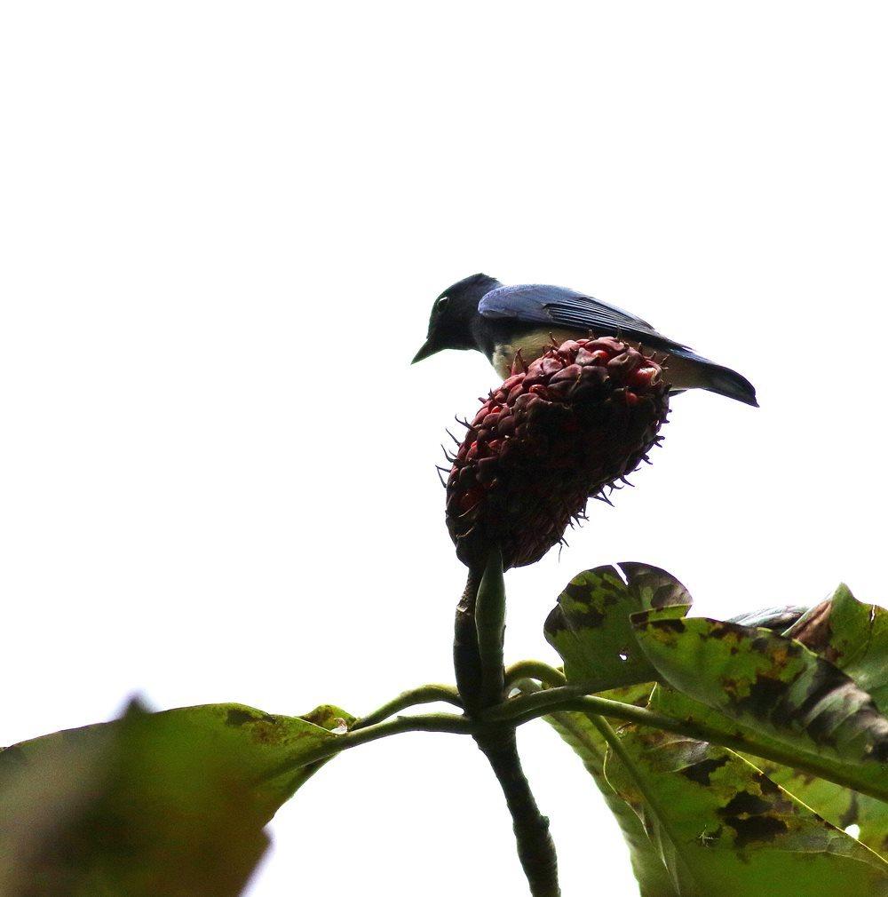 熟した?実にやって来る野鳥たち(オオルリ♂成鳥)を・・・_c0213607_19171269.jpg