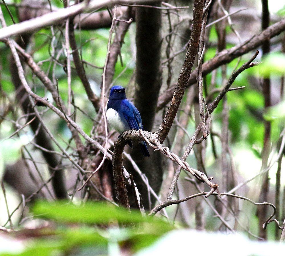 熟した?実にやって来る野鳥たち(オオルリ♂成鳥)を・・・_c0213607_19174848.jpg