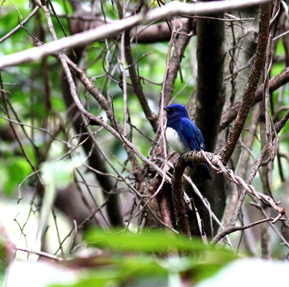 熟した?実にやって来る野鳥たち(オオルリ♂成鳥)を・・・_c0213607_19175236.jpg
