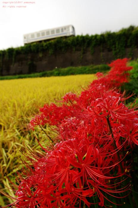 畦道に咲く彼岸花_d0309612_23224330.jpg