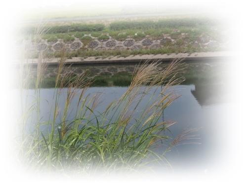 川辺のコスモス_c0026824_11120558.jpg