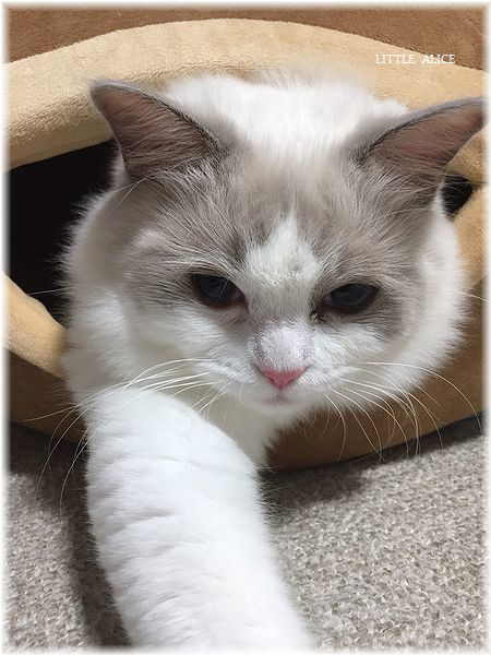 ☆シンシアちゃんと今日の仔猫たち。_c0080132_14431712.jpg
