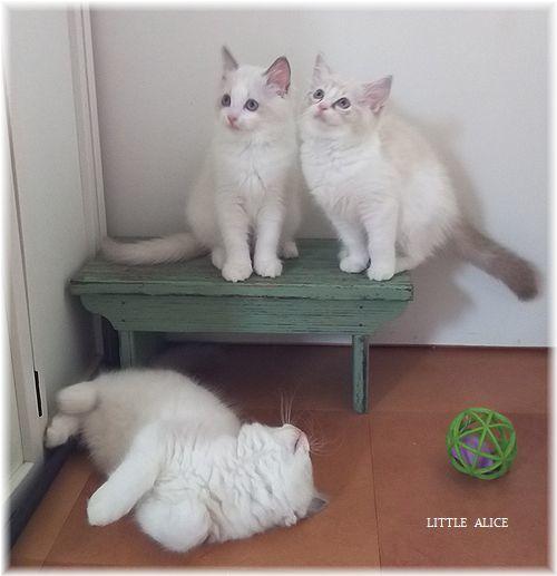 ☆シンシアちゃんと今日の仔猫たち。_c0080132_14511884.jpg