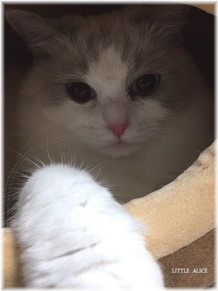 ☆シンシアちゃんと今日の仔猫たち。_c0080132_15271071.jpg