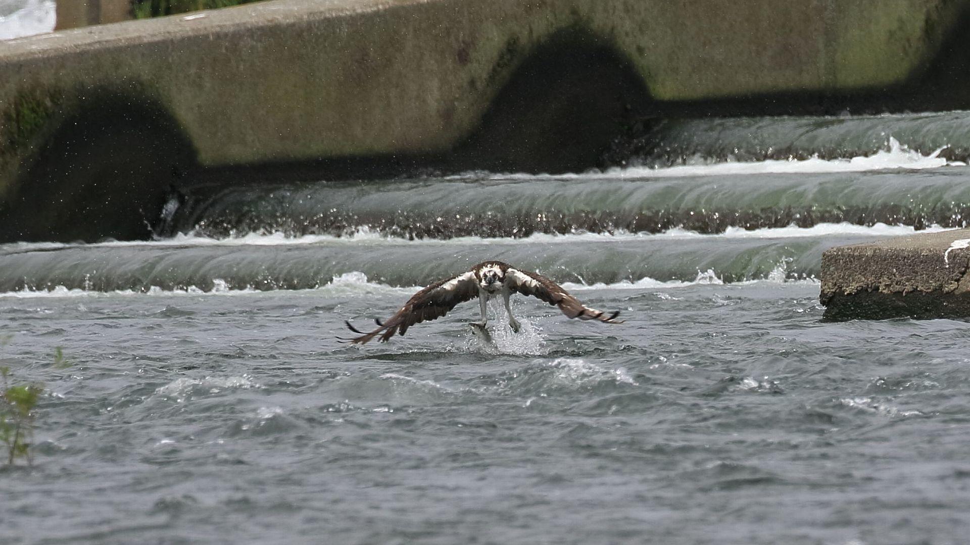 下流側でも相模川のミサゴシーズン開幕!_f0105570_21092567.jpg