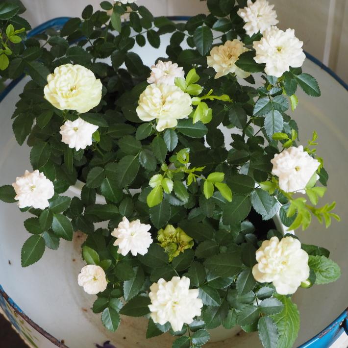 ミニバラ グリーンアイズが入荷 - sola og planta ハーブとお花のお庭日記