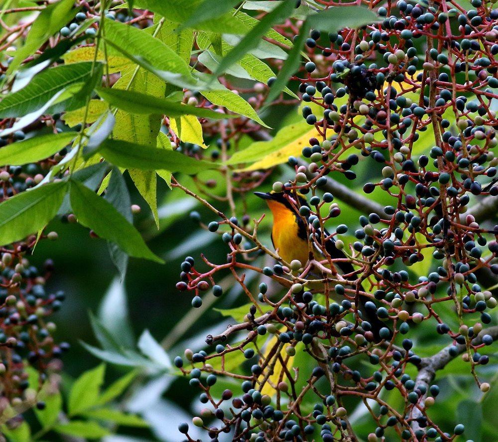 熟した?実にやって来る野鳥たち(キビタキ♂成鳥)を・_c0213607_22503562.jpg