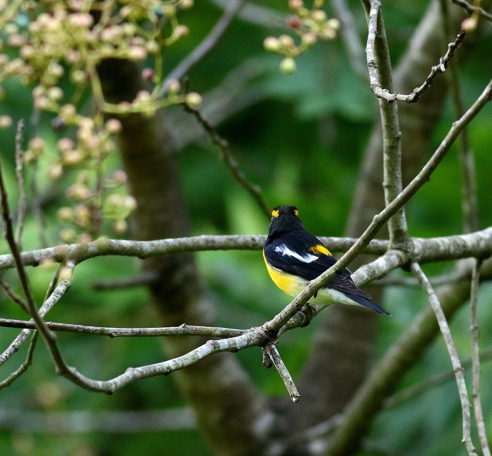 熟した?実にやって来る野鳥たち(キビタキ♂成鳥)を・_c0213607_22504043.jpg