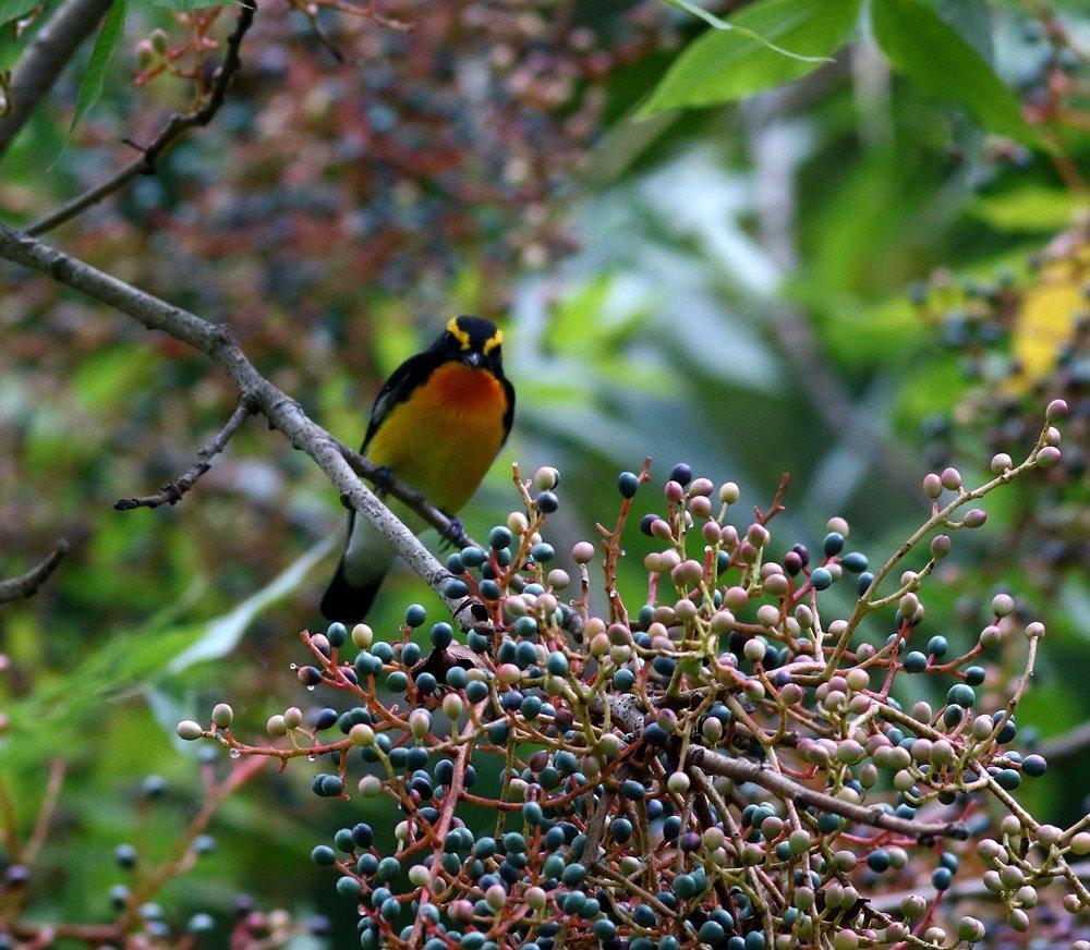 熟した?実にやって来る野鳥たち(キビタキ♂成鳥)を・_c0213607_22504418.jpg