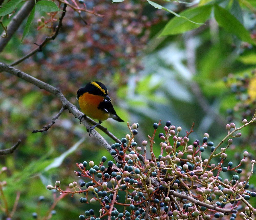 熟した?実にやって来る野鳥たち(キビタキ♂成鳥)を・_c0213607_22504928.jpg