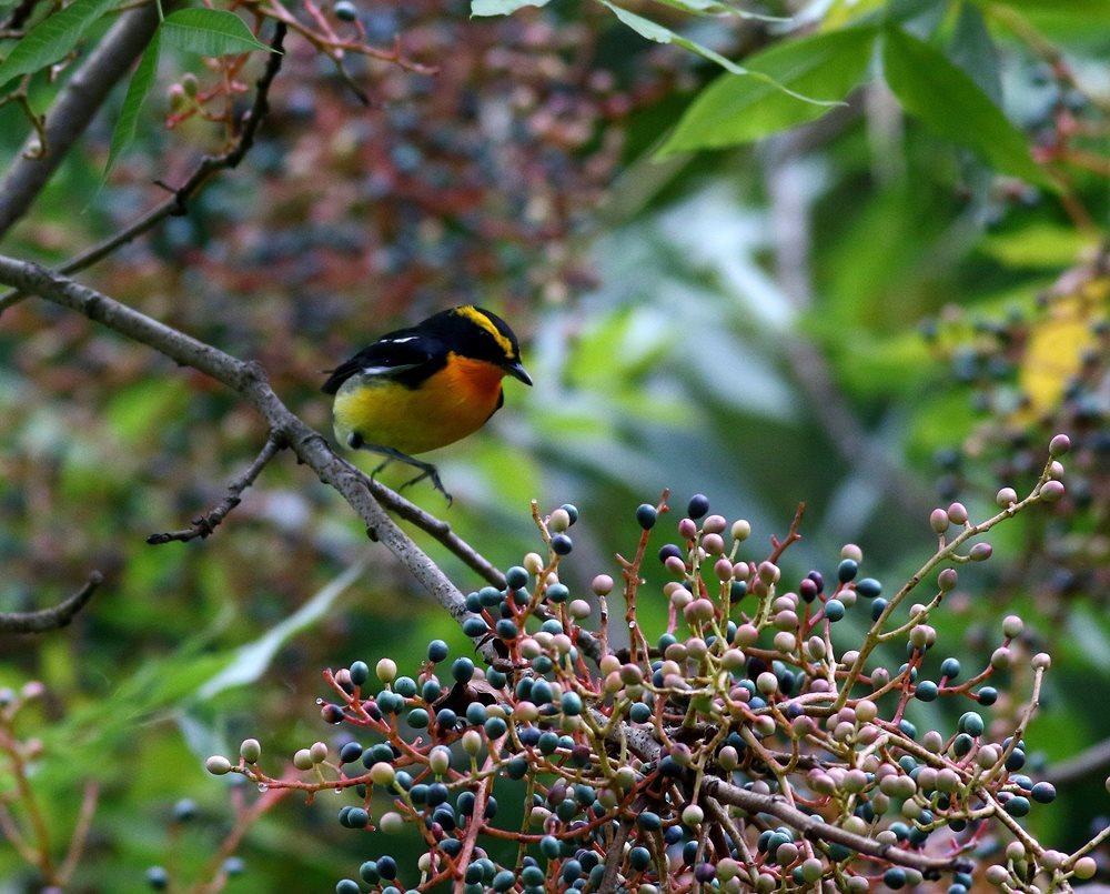 熟した?実にやって来る野鳥たち(キビタキ♂成鳥)を・_c0213607_22505468.jpg