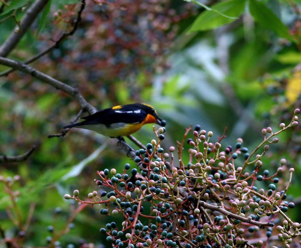 熟した?実にやって来る野鳥たち(キビタキ♂成鳥)を・_c0213607_22505921.jpg