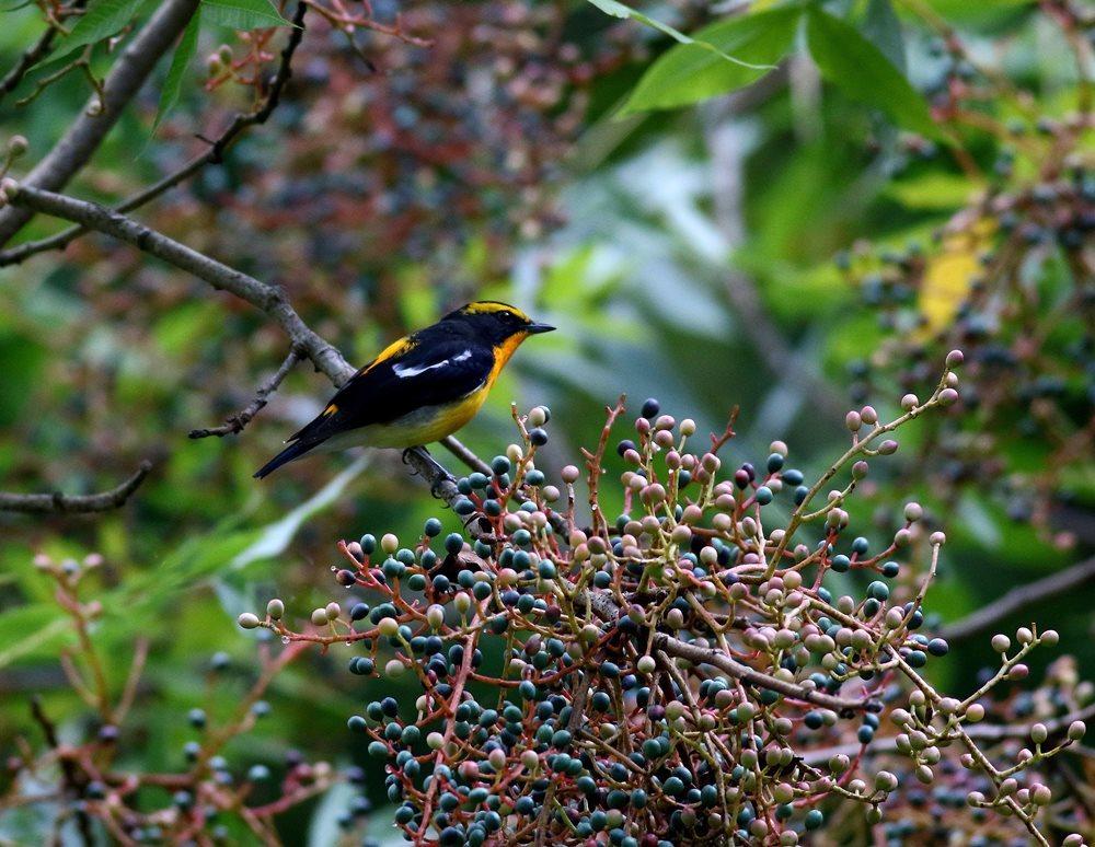 熟した?実にやって来る野鳥たち(キビタキ♂成鳥)を・_c0213607_22510480.jpg