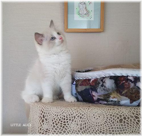 ☆ラグド-ルの仔猫*お転婆ガ-ル。_c0080132_13143938.jpg