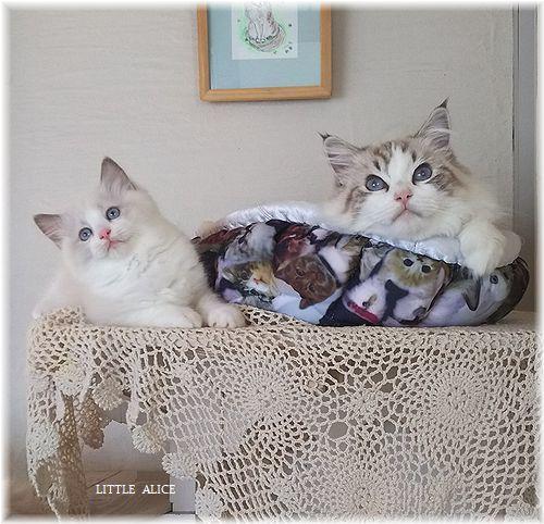 ☆ラグド-ルの仔猫*お転婆ガ-ル。_c0080132_13154857.jpg