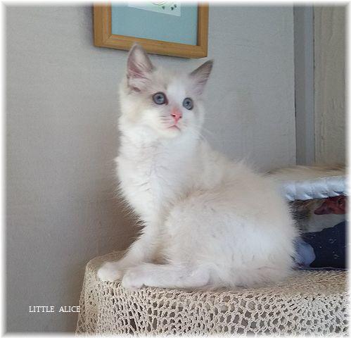 ☆ラグド-ルの仔猫*お転婆ガ-ル。_c0080132_13183876.jpg