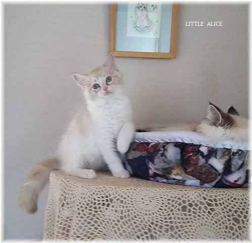 ☆ラグド-ルの仔猫*お転婆ガ-ル。_c0080132_13202572.jpg