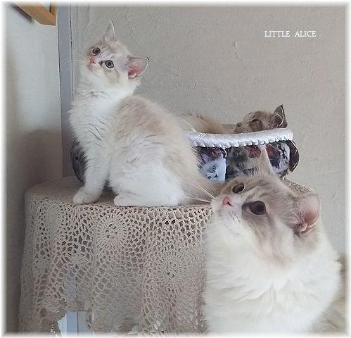 ☆ラグド-ルの仔猫*お転婆ガ-ル。_c0080132_13204731.jpg