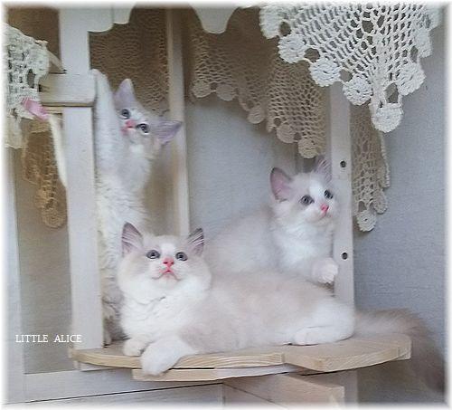 ☆ラグド-ルの仔猫*お転婆ガ-ル。_c0080132_13251658.jpg