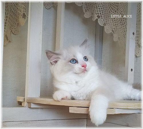 ☆ラグド-ルの仔猫*お転婆ガ-ル。_c0080132_13272384.jpg