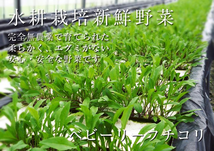 水耕栽培の新鮮野菜 無農薬で育てた朝採り『ベビーリーフチコリ』『ルッコラ』再出荷決定!『サラダリーフ』も大好評発売中!_a0254656_18090323.jpg