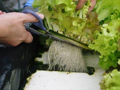 水耕栽培の新鮮野菜 無農薬で育てた朝採り『ベビーリーフチコリ』『ルッコラ』再出荷決定!『サラダリーフ』も大好評発売中!_a0254656_18240649.jpg