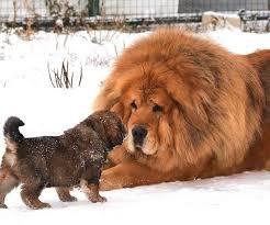 ライオン犬の不幸_e0367571_09010429.png