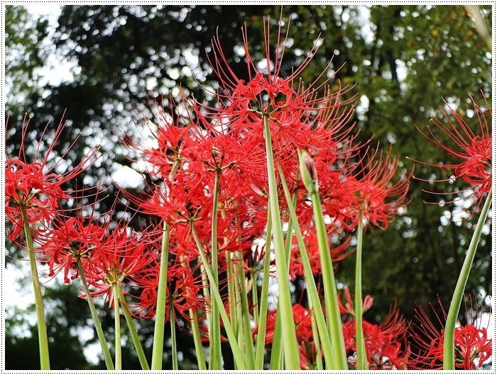 秋分の日のお出掛けの1つは、彼岸花の群生地、竹田の七つ森古墳群へ_b0175688_00271901.jpg