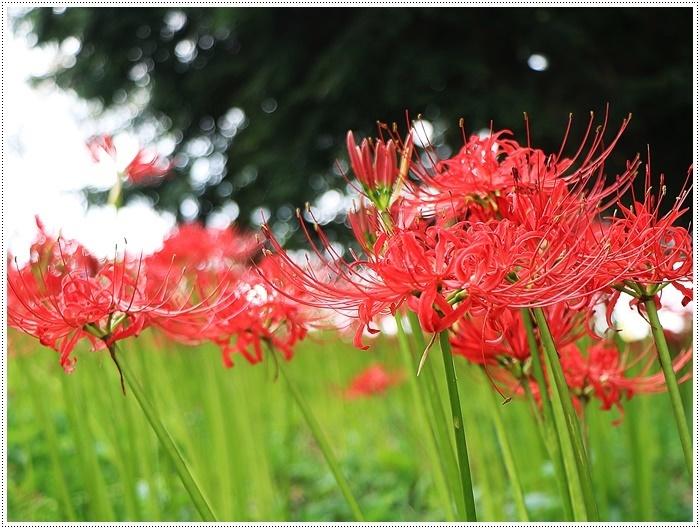 秋分の日のお出掛けの1つは、彼岸花の群生地、竹田の七つ森古墳群へ_b0175688_00272797.jpg