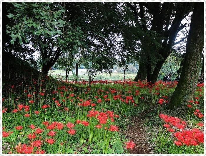 秋分の日のお出掛けの1つは、彼岸花の群生地、竹田の七つ森古墳群へ_b0175688_00280161.jpg