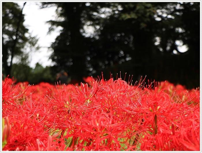 秋分の日のお出掛けの1つは、彼岸花の群生地、竹田の七つ森古墳群へ_b0175688_00280765.jpg