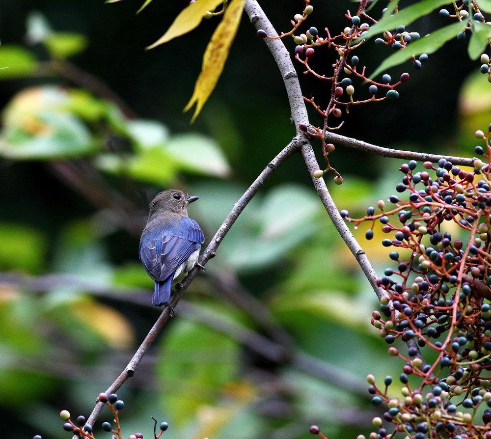 熟した?実にやって来る野鳥たち(オオルリ若♂)を・_c0213607_19324667.jpg