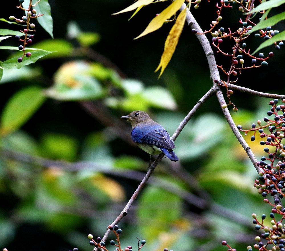 熟した?実にやって来る野鳥たち(オオルリ若♂)を・_c0213607_19325052.jpg