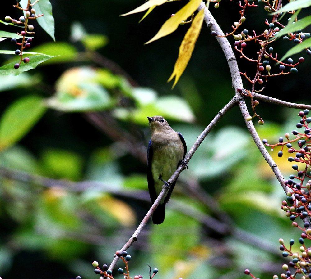 熟した?実にやって来る野鳥たち(オオルリ若♂)を・_c0213607_19325597.jpg