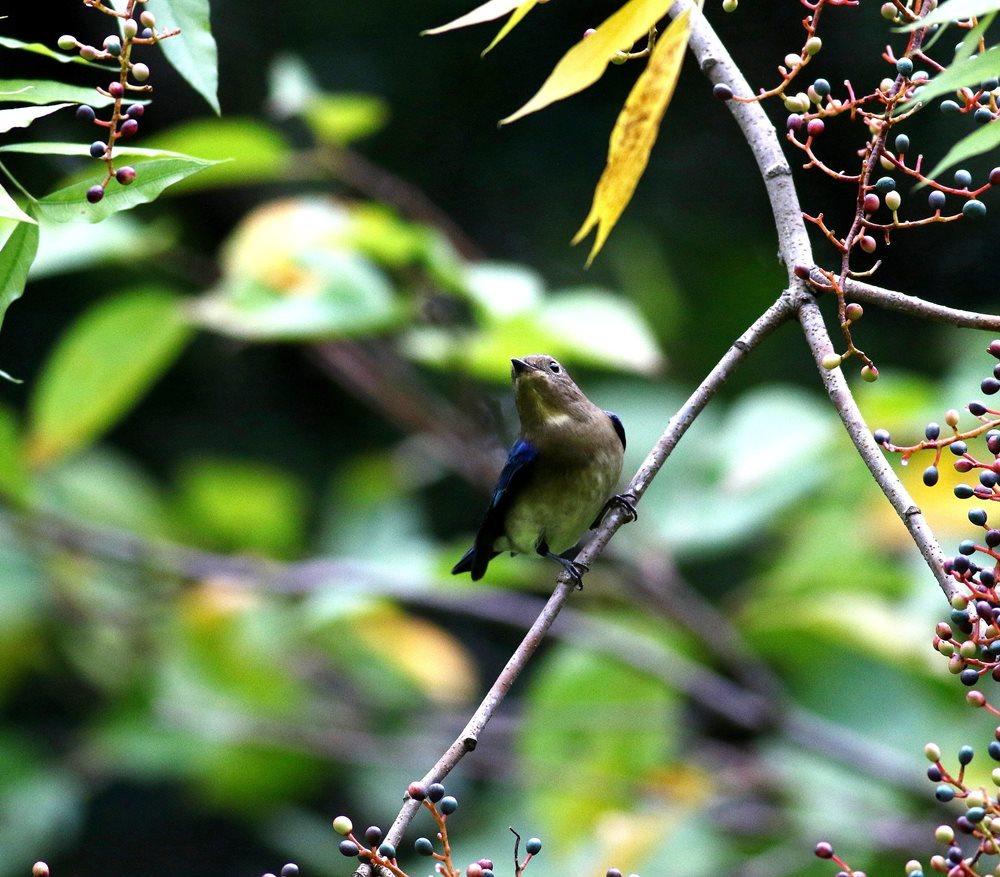 熟した?実にやって来る野鳥たち(オオルリ若♂)を・_c0213607_19325905.jpg