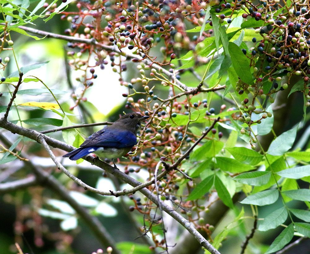 熟した?実にやって来る野鳥たち(オオルリ若♂)を・_c0213607_19330416.jpg