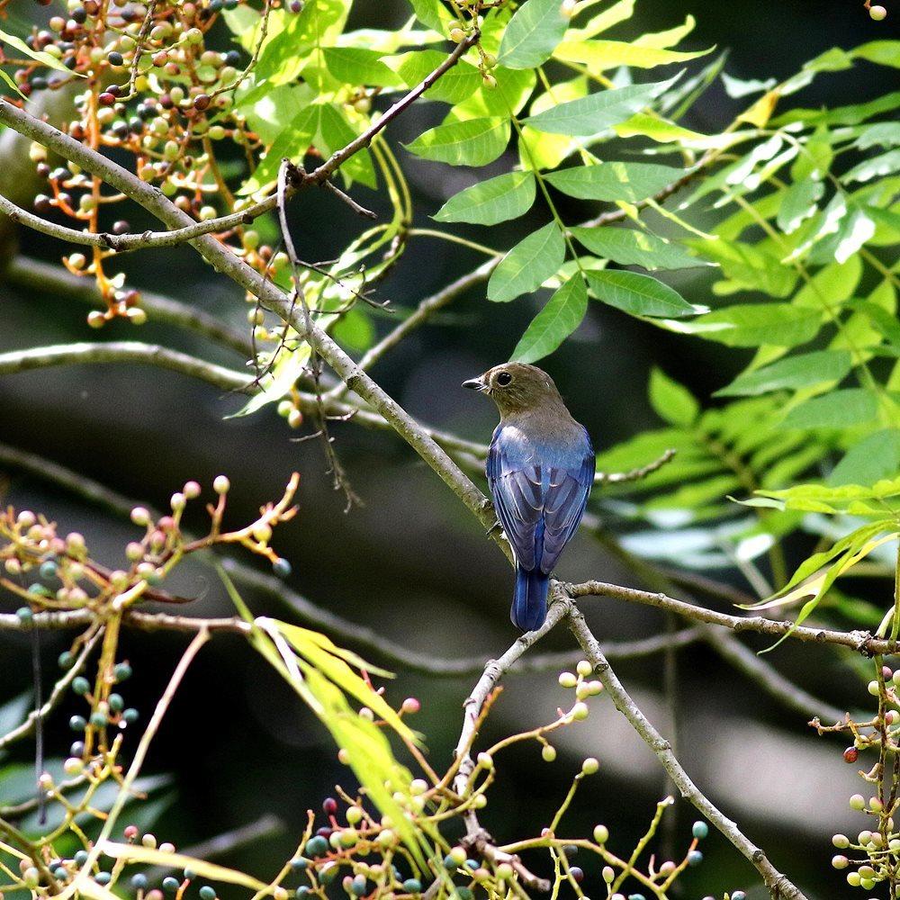 熟した?実にやって来る野鳥たち(オオルリ若♂)を・_c0213607_19330941.jpg