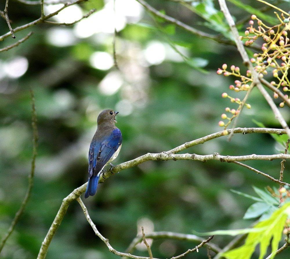 熟した?実にやって来る野鳥たち(オオルリ若♂)を・_c0213607_19333271.jpg