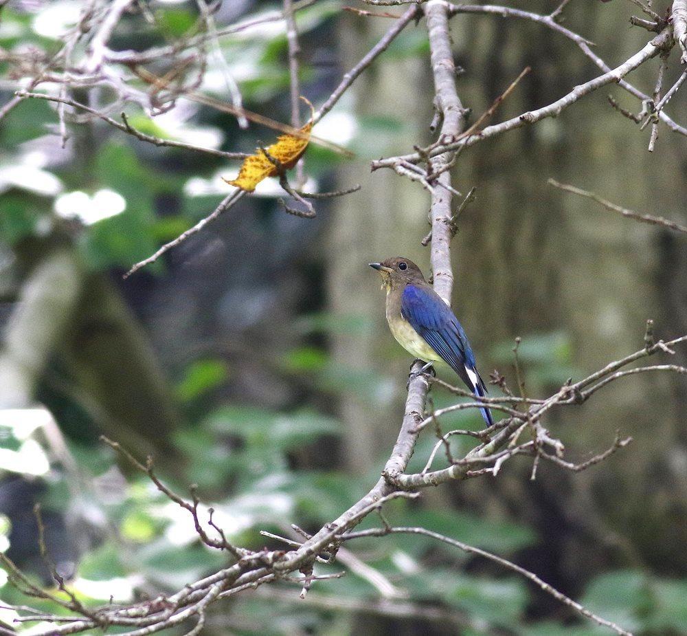 熟した?実にやって来る野鳥たち(オオルリ若♂)を・_c0213607_19333645.jpg