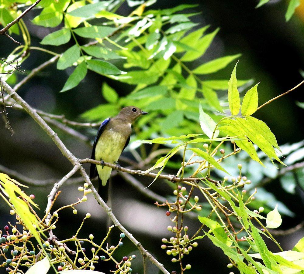 熟した?実にやって来る野鳥たち(オオルリ若♂)を・_c0213607_19334442.jpg