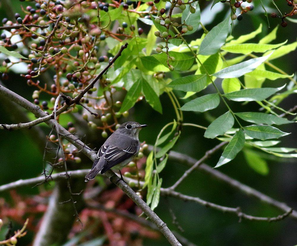 熟した?実にやって来る野鳥たち(オオルリ若♂)を・_c0213607_19354682.jpg