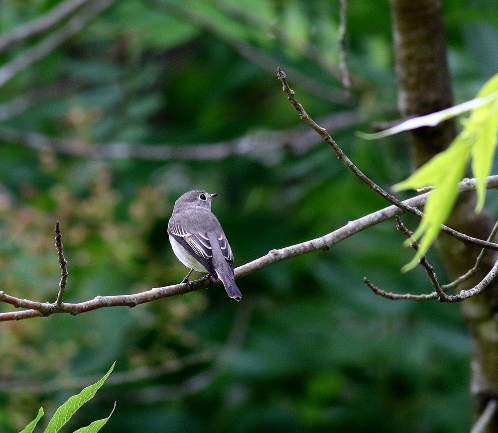 熟した?実にやって来る野鳥たち(オオルリ若♂)を・_c0213607_19355121.jpg