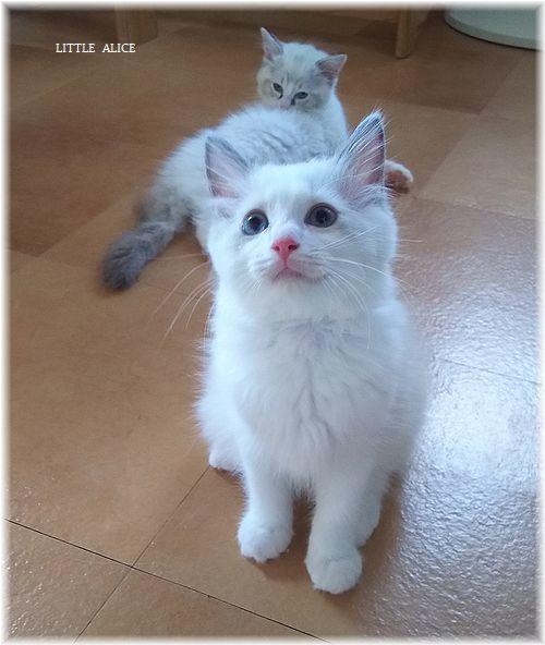 ☆ラグド-ルの仔猫*盾になる。_c0080132_12401252.jpg