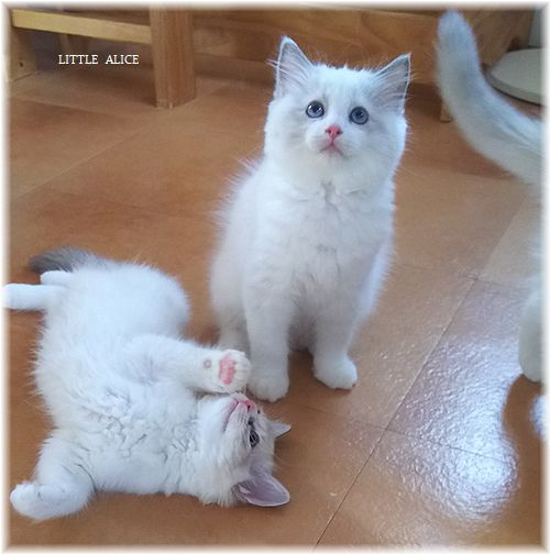 ☆ラグド-ルの仔猫*盾になる。_c0080132_12455507.jpg