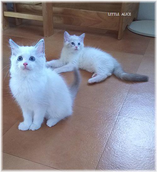 ☆ラグド-ルの仔猫*盾になる。_c0080132_13001664.jpg