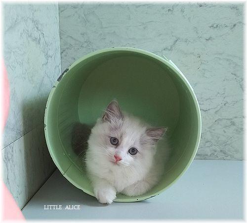 ☆ラグド-ルの仔猫*盾になる。_c0080132_13303714.jpg