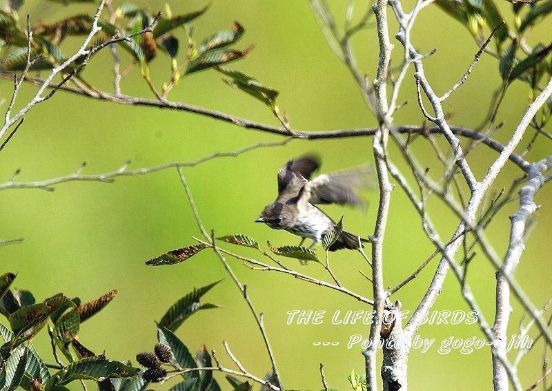 エゾビタキは、秋と春に平地や低山の林に渡来_b0346933_06325370.jpg