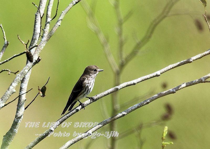 エゾビタキは、秋と春に平地や低山の林に渡来_b0346933_06330222.jpg