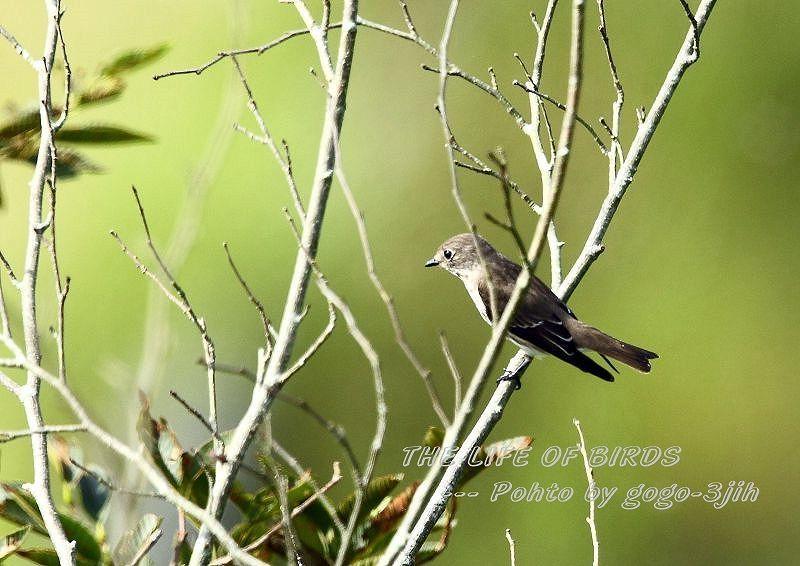 エゾビタキは、秋と春に平地や低山の林に渡来_b0346933_06330581.jpg